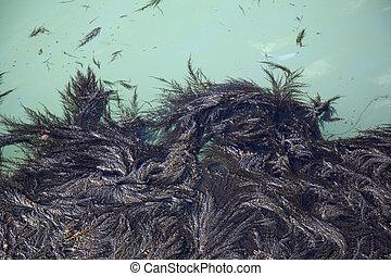 Seaweed in Venice Lagoon, Italy