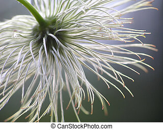seed from clematis