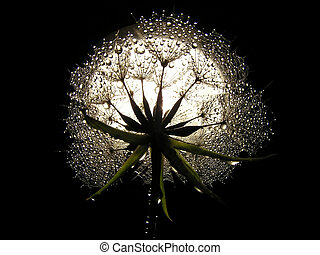 "Goats beard - Close-up of seed of the composite ""Goats..."