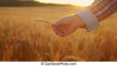 Close up of senior adult farmer holding a spikelet with a brush of wheat or rye in his hands at sunset looking closely studying and sniffing enjoying the aroma in slow motion at sunset. High quality 4k footage