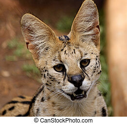 Close-Up Picture of Face of a Serval African Wild Cat