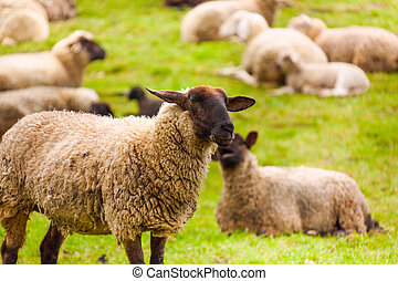 Close-up of sheep who pasture in the green field