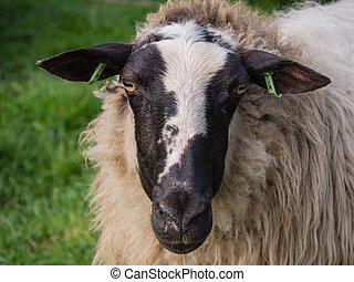 Close-up of sheep's head