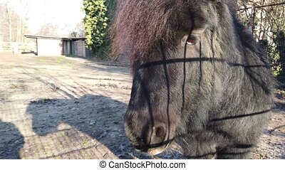 Close-up of Shetland Pony in the backyard