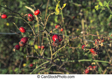 Close up of shiny red rose hips on a sunny autumn day