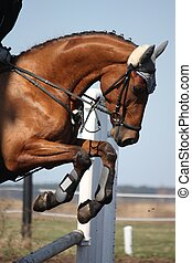 Close up of show jumping horse - Close up of brown show...