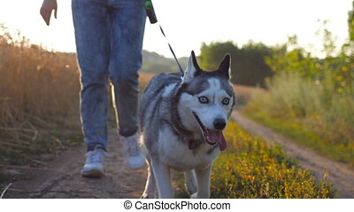 Close up of siberian husky dog pulling the leash during walking along road near wheat field. Feet of young girl going along the trail near meadow with her cute pet. Blurred nature at background