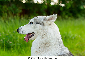 Close-up of siberian husky with blue eyes.