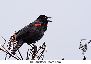 Close up of singing red-winged black bird (Agelaius ...