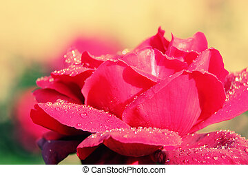 Close Up of single flower with raindrops