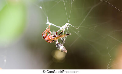 Close up of Single red wasp in the cobweb