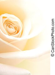Close-up of single soft creamy rose flower against white background
