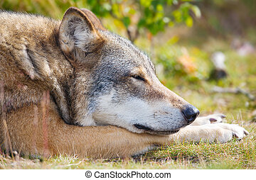 Close up of sleepy wolf who rests in the forest