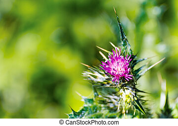 Close up of Slender Thistle (Carduus tenuiflorus) flower; blurred background; East San Francisco bay area, California