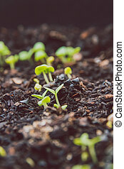 close-up of small basil seedlings popping up from the ground