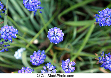Close-up of small blue flowers blooming in spring