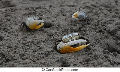 Close up of small fiddler crabs crawling in mud - Close up...