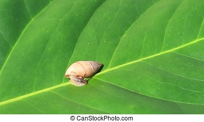 garden snail - close-up of small garden snail on green leaf
