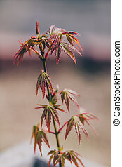 close-up of small japanese maple plant in pot with red and ...