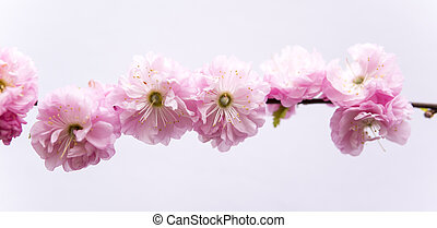 small pink flowers of prunus triloba