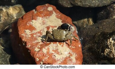 Close up of small red crab crawling on stone