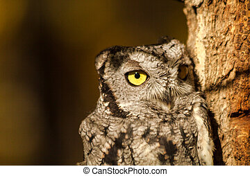 Western Screech Owl - Close up of small Western Screech Owl...
