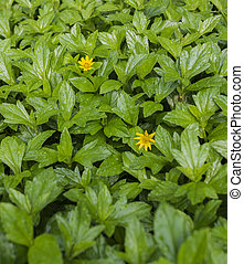 Close up of small yellow flowers in a sea of green leaves