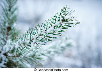 close-up of snow-covered pine twig