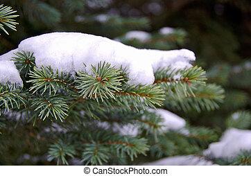 snow on blue spruce - Close up of snow on blue spruce pine...