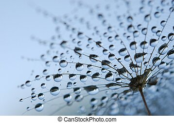 dandelion seeds - close-up of soft dandelion seeds to be...