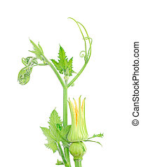 close-up of some cut zucchini flowers or pumpkin flower on white background