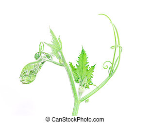 close-up of some cut zucchini plant or top of pumpkin leaf on white background