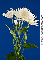 Close-up of some white chrysanthemums against a plain blue background