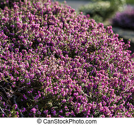 close up of some wild heather