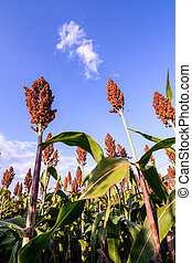 Close up of sorghum in the field.