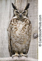 South American Great Horned Owl - Close up of South American...