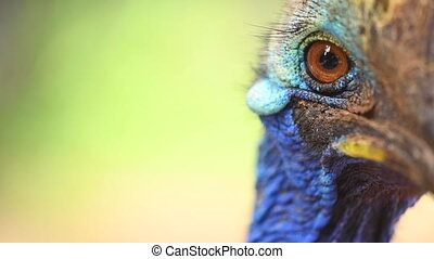 Close up of Southern Cassowary, the largest flightless bird. High quality FullHD footage