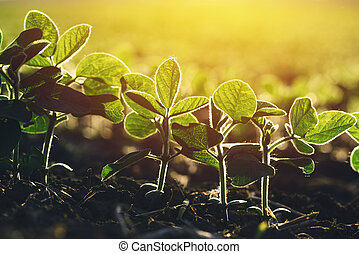 Close up of soybean plant in field