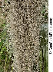 Close Up of Spanish Moss Hanging