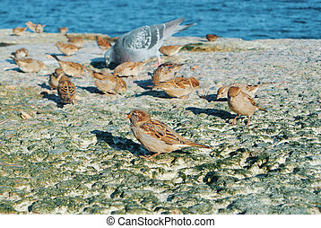 Close-up of sparrows and pigeons eat crumbs of bread on stones covered with dry green algae on the seashore, feeding birds at the city beach.