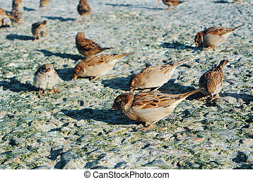 Close-up of sparrows eating crumbs of bread on stones covered with dry green algae on the seashore, feeding birds at the city beach in the evening sun light.