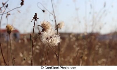 Close-up of spent and wilted dandelion wildflowers swaying...