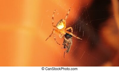 Close up of spider eating in web