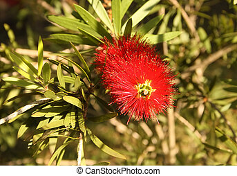 Close-up of Spiky Red Bottle Brush Flower