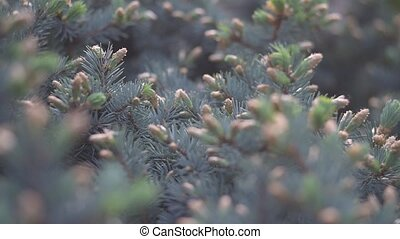 Slide focus on fir tree branches - Close up of spruce...