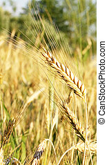 stalk of wheat - close-up of stalk of wheat in the field