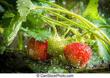 Close up of strawberries in the rain