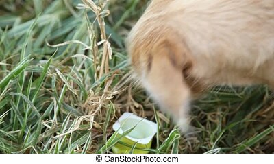 Close-up of stray dog licks box with yogurt in grass. -...