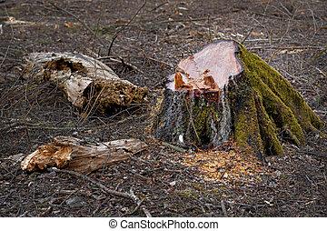 stump of old tree