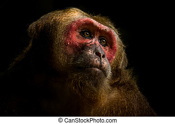 Close up of Stump-tailed macaque. - Close up of Stump-tailed...